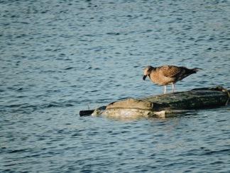 Gull at Pier 39